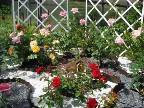 клумбы с розами красивые фото